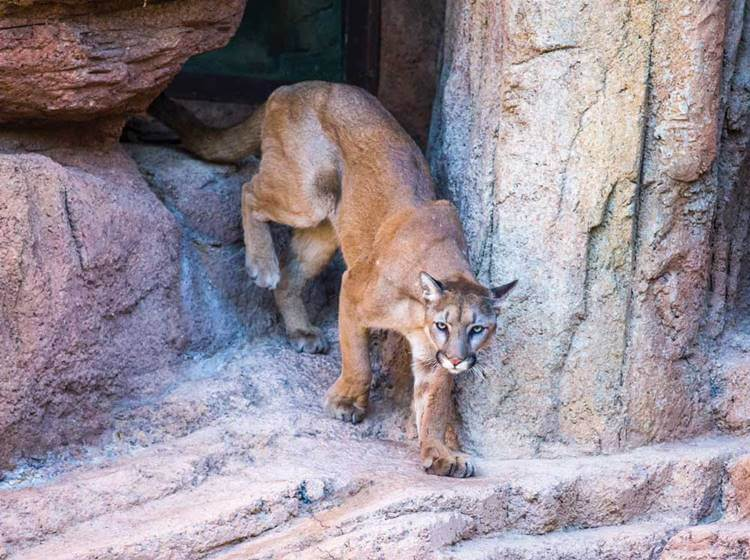 Sonora Museum orphaned mountain lion