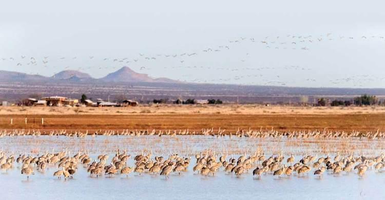 flocks of sandhill cranes